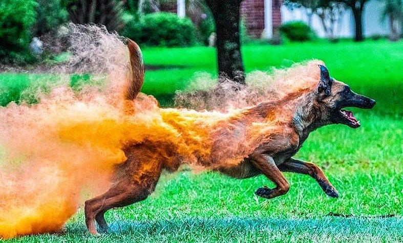 Holi power makes dog look like he's on fire